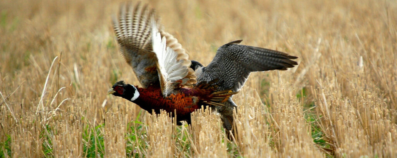 Slechtvalk slaat fazant
